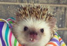 Huff, il riccio vampiro