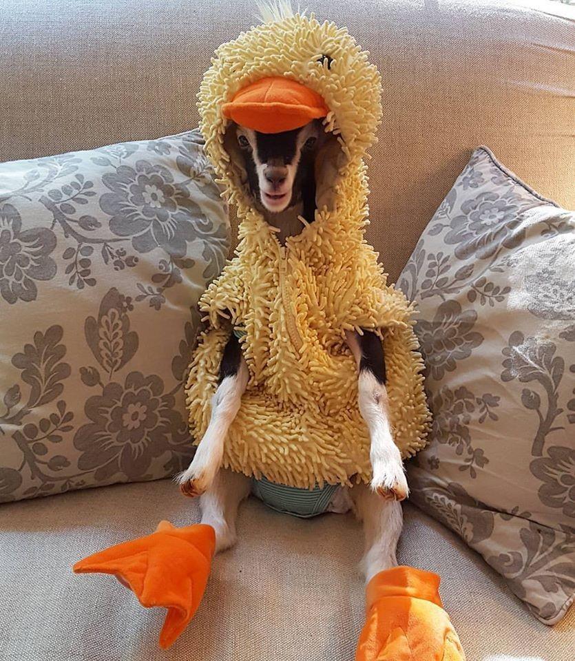 Polly indossa il suo costume da anatra