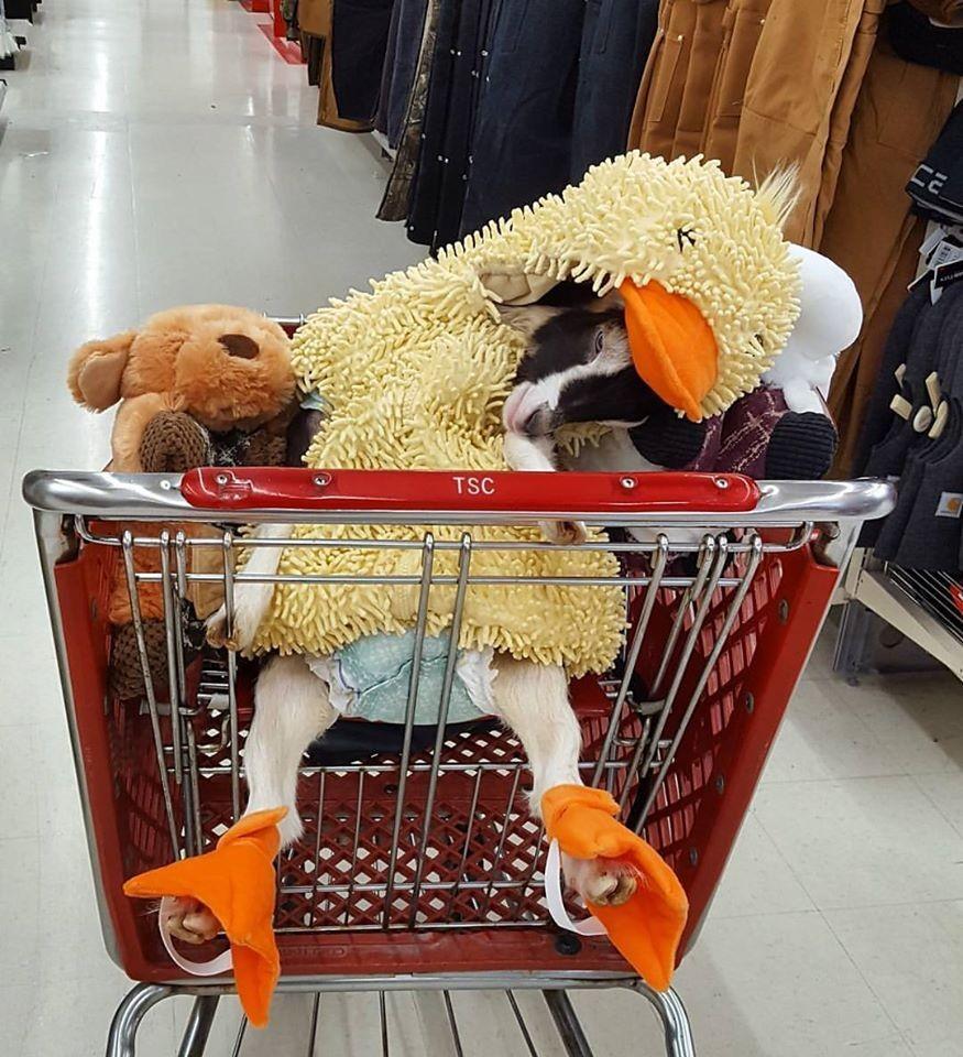 Polly va a far la spesa